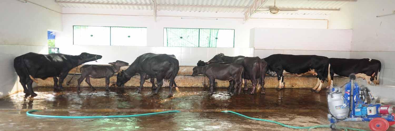 8 Dairy Farm